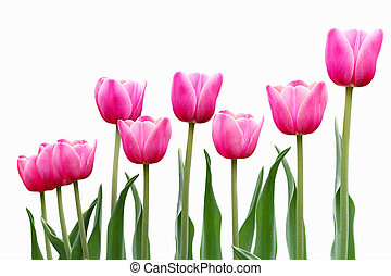 rózsaszínű, tulipán, menstruáció