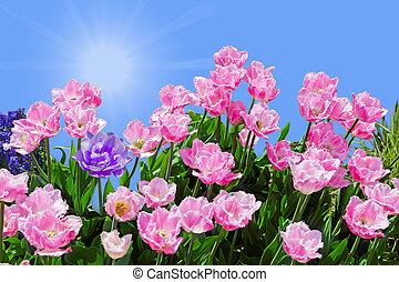 rózsaszínű, tulipánok, perem