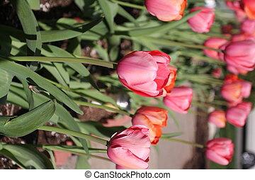 rózsaszínű, tulipánok