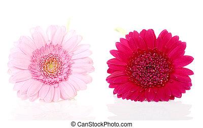 rózsaszínű virág, closeup, két, gerbera