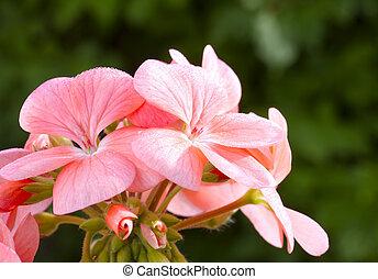 rózsaszínű virág, kép, feláll, muskátli, (pelargonium), becsuk