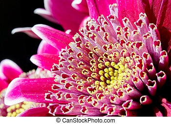rózsaszínű virág, kép, feláll, sötét, krizantém, becsuk