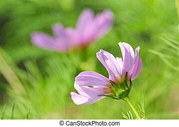 rózsaszínű virág, kaszáló, menstruáció, feláll, zöld, százszorszép, becsuk, fű