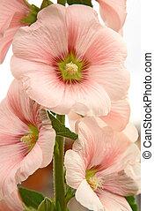 rózsaszínű virág, papsajt