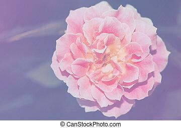 rózsaszínű virág, rózsa, kép, feláll, egyedülálló, becsuk