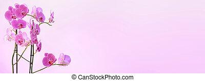 rózsaszínű, virágzás, körképszerű, háttér, nagyság, orhidea