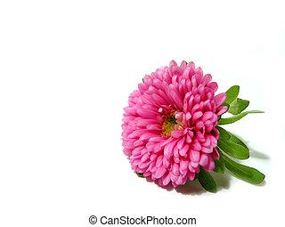 rózsaszínű, white virág, háttér