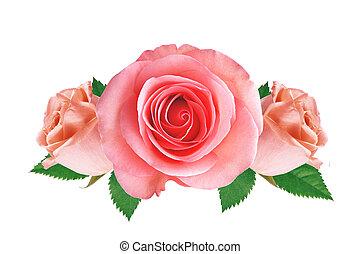 rózsaszínű, zöld, elszigetelt, agancsrózsák, zöld háttér, fehér
