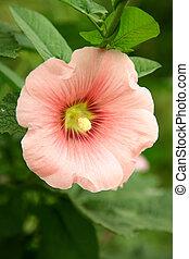 rózsaszínű, zöld, papsajt, háttér