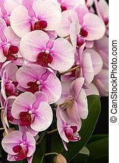 rózsaszín orhidea, félhomály, phalaenopsis