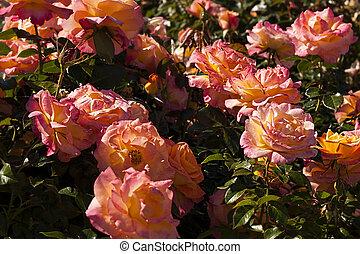 rózsaszín rózsa, bokrok, sárga