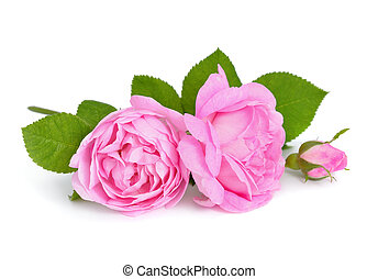 rózsaszín rózsa, elszigetelt