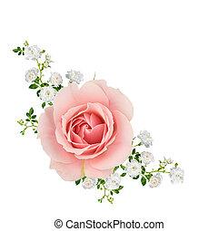 rózsaszín rózsa, fehér, elszigetelt
