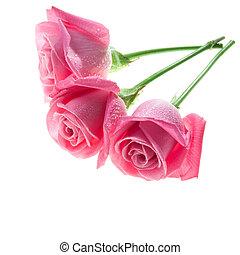 rózsaszín rózsa, fehér, három, elszigetelt