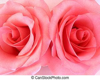 rózsaszín rózsa, két, makro