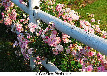 rózsaszín rózsa, kerítés