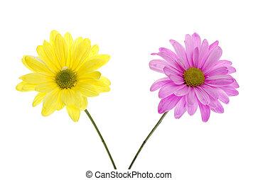 rózsaszín százszorszép, shasta, sárga, flowers:, két