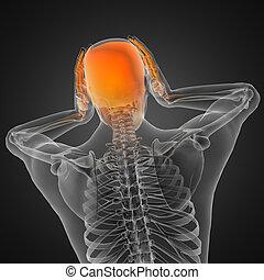 röntgenográfia, emberi, fürkész