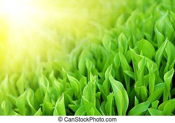 ragyog, eredet, napvilág, zöld, friss, fű