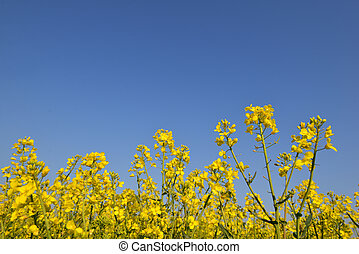 rapeseed, blue virág, felnövés, alatt, sárga, feláll sűrű, ég terep