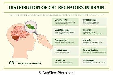 receptorok, agyonüt, infographic, eloszlatás, cb1, horizontális