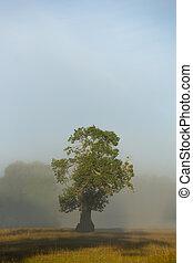 reggel, tölgy, ködös, fa, mező, napos