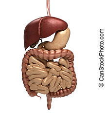 render, organs., rendszer, kivágott, anatómia, emésztő, beleértve, emberi, mouth., más, 3