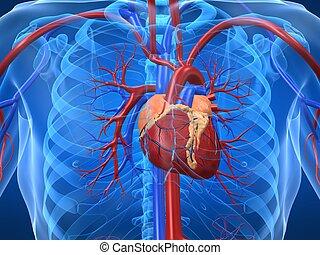 rendszer, cardiovascular