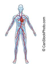 rendszer, emberi, cardiovascular