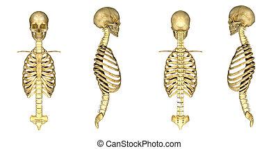 ribcage, koponya