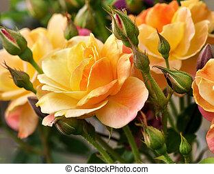 sárga, rózsaszín rózsa