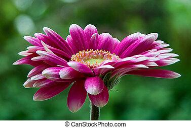sárga virág, rózsaszínű, bélyeg, closeup