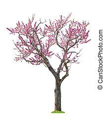 sacura, rózsaszínű, fa