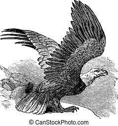 sas, szüret, kopasz, (haliaeetus, leucocephalus), engraving.