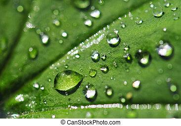 savanyúcukorka, levél növényen