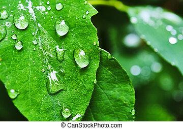 savanyúcukorka, makro, víz, zöld, szín, levél növényen