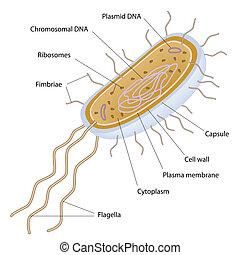 sejt, bacterial, szerkezet