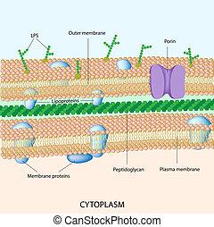 sejt közfal, bacterial, gramm, negatív