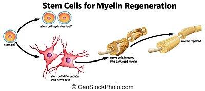 sejt, myelin, szár, megújítás