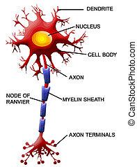 sejt, neuron