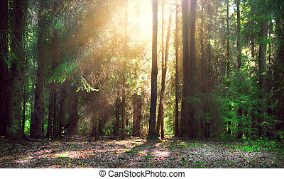 shadows, ködös, öreg, nap, köd, erdő, küllők