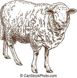sheep, ábra, metszés, rajz