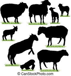 sheep, bárány, állhatatos, körvonal