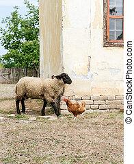 sheep, csirke