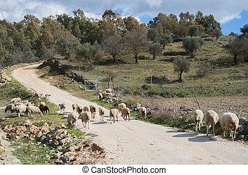 sheep, eredet, ronda, feláll, spain., falka, nap, út