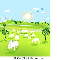 sheep, falka