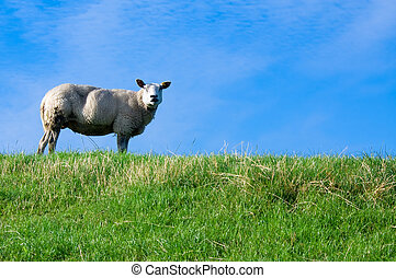sheep, friss, fű, zöld