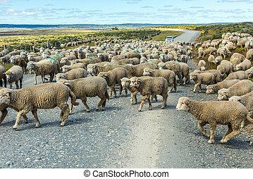 sheep, fuego, del, tierra, csorda, út