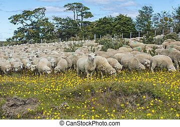 sheep, fuego, del, tierra, csorda