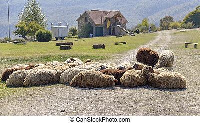 sheep, hegy, csorda, sós, fekvő, falu, nap, út